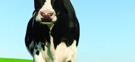Inquisitive Holstein Frisian cow